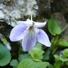 薄紫の花びらにハートの葉っぱ