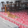 (パタヤ) 昼間の暑さをやり過ごす野良犬
