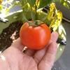 ミニトマト?収穫
