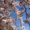 2019年4月1日(月)〜21日(日)は【桜前線ピリカ】(オンラインイベント)