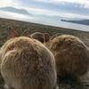【うさぎ島】大久野島でウサギまみれになってきた