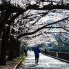 仙台堀川公園の桜並木が満開