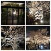 江東区 清澄庭園前 本誓寺の夜桜がきれい