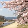 この世に桜など無かったら…