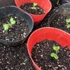 野菜づくり二年生 37 〜キャベツ・白菜の育苗