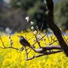 浜離宮恩賜庭園で梅と菜の花の共演を楽しむ