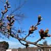 桜もうすぐ咲く???