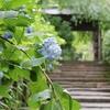 元祖あじさい寺 鎌倉明月院の紫陽花「明月院ブルー」を見てきた感想。