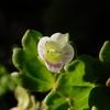 イヌノフグリ Veronica polita var. lilacina