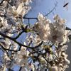 昭和のURでお花見、する幸せ。