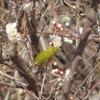 白梅咲く雑木林の鳥見 ☆追記あり