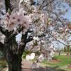 神戸町〔ごうどちょう〕ばら公園と池田町霞間ヶ渓〔かまがたに〕公園で満開のサクラを満喫してきた