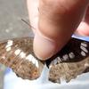イチモンジチョウとアサマイチモンジ そっくりな茶色い蝶の違いは白い点の位置にあり!