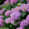 馬見丘陵公園の紫陽花が徐々に咲いてきています