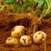 【ホクホク感最強】マツコ絶賛の「三方原ジャガイモ」