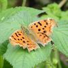 チョウ(蝶)の春型・夏型・秋型とは?【季節によって姿が変わる不思議】
