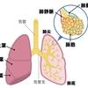 【基礎から学ぶ】肺(肺胞・胸膜・縦隔)【解剖生理学】