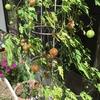5-148   愛すべき花たち〜フウセンカズラは秋です〜