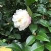庭のサザンカが咲いていた。明日はもう10月