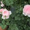 クイーンオブスウェーデンが咲きました。 バラ愛好家の昔と今
