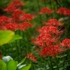 伽耶院の彼岸花 #暗い花