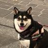 【柴犬グッズ】ダイソーで見つけた柴犬の100円グッズ~DAISO