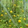 夏分蜂していく日本ミツバチ