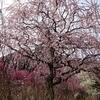 さわやかウオーキング ・掛川城と 龍尾神社の枝垂れ梅