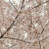 春一番と桜吹雪