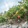 海浜植物の楽園~はまなすの丘公園