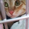 ココちゃんのトイレにオレンジ色の猫砂が!!診断の結果は特発性膀胱炎!!!