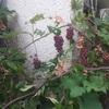 【67日目②】【購入記録】野性の葡萄とカニカマカルカン