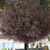 相模大野の春 ステーションスクエアの桜の木