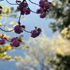夕方の八重桜