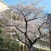 台風(並みの低気圧)一過、桜だね♪ / 支那ソバ かづ屋 @ JR山手線・目黒駅