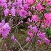 「佐久の季節便り」、二十四節気・「清明(せいめい)」に、「十月桜」が雨に濡れる…。