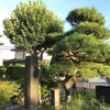 三浦一族の偉業を今にも伝える 大矢部の腹切り松公園(横須賀市)