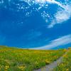 オオキンゲイキクの花畑