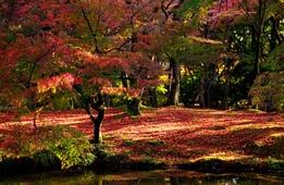 【紅葉雑学コラム】京都の紅葉はなんでキレイなの?