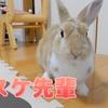 ミニウサギの室内飼育でまさかの大パニックに!?飼い主との友情が決裂・・