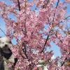 河津桜・お花見お散歩
