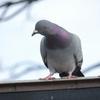 鳩と僕のベランダ戦争