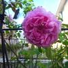 咲けば年中良い香り