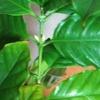 #7 コーヒーの木の花芽が!