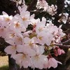 開花してすぐの桜 と 散り際の桜 の違い(ソメイヨシノ) どちらがお好みですか?
