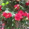 庭の花と桜