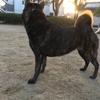 第148回天然記念物指定甲斐犬愛護会主催展覧会
