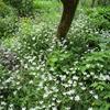 まつこの白い庭