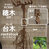 【台木】について - フィロキセラ耐性を持つ【3大台木原種】と【4つの交雑品種】を覚えよう!