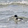 浜甲子園鳥獣保護区のウミアイサ